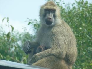 Mama and baby baboon